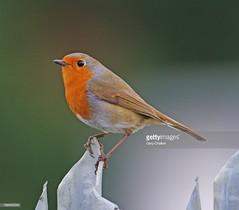 Robin (Gary Chalker, Thanks for over 4,000,000. views) Tags: robin bird pentax pentaxk3ii k3ii pentaxfa600mmf4edif fa600mmf4edif fa600mm 600mm