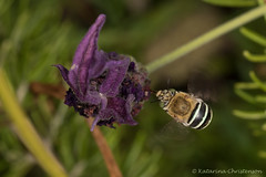 Blue banded bee hovering (kasia-aus) Tags: australia canberra animal bee bluebanded bug feeding flight hovering insect lavender macro motion nature wildlife wings