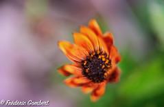 Birth (frederic.gombert) Tags: bloom blossom winter light color flower macro nikon sun plant daisy orange green blue