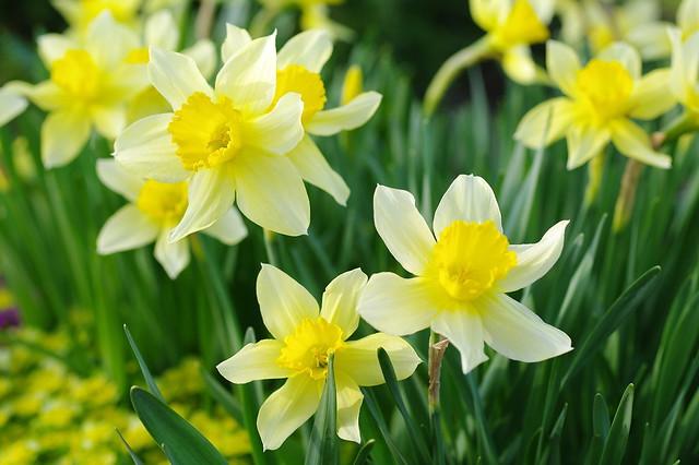 Обои желтый, весна, нарциссы картинки на рабочий стол, раздел цветы - скачать