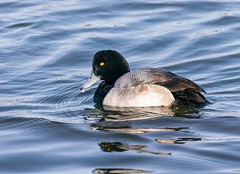 Scaup (Karen_Chappell) Tags: bird nature scaup duck water pond lake blue animal quidividilake newfoundland nfld canada atlanticcanada avalonpeninsula eastcoast stjohns