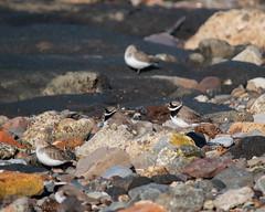 Great camouflage (RCB4J) Tags: ayrshire ayrshirecoast clydecoast firthofclyde rcb4j ronniebarron scotland sigma150500mmf563dgoshsm sonyilca77m2 troon art nature photography sailing shore wildlife yachts charadriushiaticula ringedplover shorebirds sanderling calidrisalba