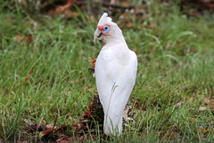 Long-billed Corella (Alan Gutsell) Tags: longbilledcorella long billed corella parrot white eagleby wetlands queenslandbirds queensland australianbird nature wildlife canon alan