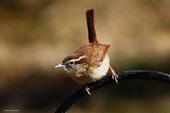 Carolina Wren (Anne Ahearne) Tags: wild bird animal nature wildlife cute songbird birdwatching bokeh carolinawren