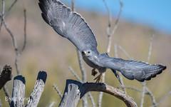 Arizona - Grey Hawk (1 of 1) (dbking2162) Tags: hawk hawks wildlife desert arizona birds bird birdofprey beauty nature nationalgeographic explore flight