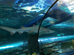 Shark Swims Under The Boat. (dccradio) Tags: myrtlebeach sc southcarolina horrycounty ripleysaquarium ripleys aquarium boat glassbottom glassbottomboat water underneath tunnel indoors inside february winter afternoon goodafternoon monday mondayafternoon waves ripples shark swim swimming nature fish canon powershot elph 520hs
