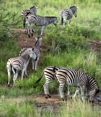 African safari zebra herd (andrewantipin) Tags: animals zebra africa landscape safari herd