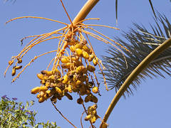 Half Empty Cluster of Dates (zeevveez) Tags: זאבברקן zeevveez zeevbarkan canon empty palm fruit