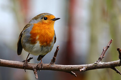 Robin. (Chris Kilpatrick) Tags: chris canon canon7dmk2 sigma150mm600mm sigma outdoor wildlife nature bird animal garden douglas isleofman robin springwatch