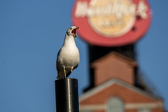 (Joe Magar) Tags: baltimore gulls birds