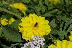 Vacances_0822 (Joanbrebo) Tags: mainau konstanz badenwürttemberg de deutschland flors flores flowers fiori fleur blumen blossom canoneos80d eosd autofocus