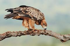 ZIM_6959 (lucvanderbiest) Tags: tawnyeagle savannearend scavengershide zimangaprivatereserve southafrica