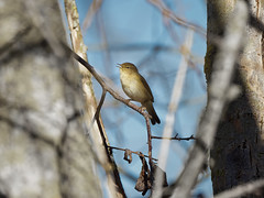 a Chiffchaff - un pouillot (Franck Zumella) Tags: nature bird small oiseau petit warbler pouillot fitis veloce animal wildlife spring color printemps couleur chiffchaff sony a7s a7 tamron 150600 branch branche tree arbre sing singing chanter chant winter hiver