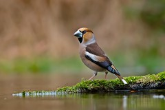 Appelvink - hawfinch - Coccothraustes coccothraustes (MHR Roes) Tags: espelo vogelkijkhut appelvink hawfinch arjantroost coccothraustescoccothraustes