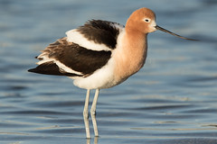 American Avocet (male) (Jeremy Meyer) Tags: americanavocet american avocet shorebird bird wisconsin