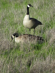 Canada Goos pair in a grassy Ballona field (stonebird) Tags: canadagoose ballonawetlandsecologicalreserve areab march img1356