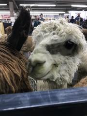 Alpaca smile (f l a m i n g o) Tags: animal alpaca face cute