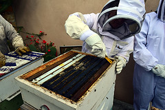 DSC_9759-61 (jjldickinson) Tags: nikond3300 107d3300 nikon1855mmf3556gvriiafsdxnikkor promaster52mmdigitalhdprotectionfilter longbeach bixbyknolls longbeachbeekeepers outreach class beeprepared insect bee honeybee apismellifera hive hiveinspection