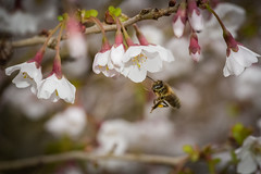 spring is blossoming (Paul Wrights Reserved) Tags: spring springtime blossom blossoming flower flowers bokeh bee bees beeinflight flying flyingbee flyinginsects botanical insect insects