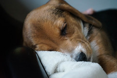Beagle puppy nap (DDM Imaging) Tags: dog dogs puppy puppies beagle doggie animal animals pet pets home friend sleep camera sony a7ii a7m2 cute baby babies