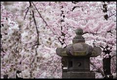 The Japanese Lantern (Nrbelex) Tags: canon dslr 5dmkiii nrbelex ef70200mm 70200mm 70200mmf28 canon70200f28l 5diii washington dc washingtondc spring cherryblossom cherryblossoms blossoms hanami nationalcherryblossomfestival ncbf bloom dof depthoffield 桜 さくら sakura widegamut adobergb argb widecolorspace japaneselantern tōrō 灯籠 tachidōrō