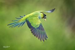 Nanday Parakeet (MyKeyC) Tags: fortdesoto nanday nandayparakeet flying green parakeet parot aratinganenday