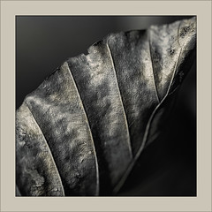 (Eva Haertel) Tags: eva haertel nature natur pflanze plant blatt leaf trocken dry buche beech makro detail monochrom structure struktur herbst season jahreszeit