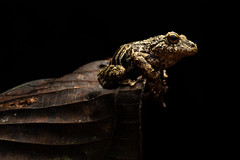 Tree Frog On Leaf (worm600) Tags: ecuador animal sumaco wildsumaco frog treefrog