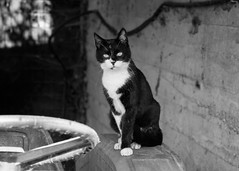 Gatto di campagna (fabrizio_buoso) Tags: felini felinos cat chats chat gatti gatos gattiitaliani biancoenero bw bianconero blackwhite blackandwhite noiretblanc nikonclubit
