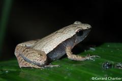 Microhyla heymonsi (GeeC) Tags: amphibia animalia anura cambodia chordata frogstoads kohkongprovince microhyla microhylaheymonsi microhylidae microhyloidea narrowmouthedfrogs nature tatai