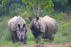 Panzernashörner (uwe125) Tags: säugetier wildlife nepal nationalpark chitwan indien rhino panzernashorn animal tiere