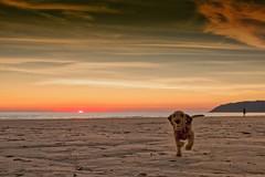J'arrive DxOPL LM+21 1006574_DxO (mich53 - thank you for your comments and 6M view) Tags: bassetfauvedebretagne fauvedebretagne dog chien plage beach sunset normandie cotentin speed leicamtype240 dxo frankreich télémètre entfernungsmesser vacances 2018