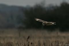 Short Eared Owl-1217 (WendyCoops224) Tags: 100400mml 80d fens canon eos ©wendycooper short eared owl asio flammeus