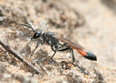 Ammophila sabulosa UK female (Juan Briantspuddle) Tags: ammophilasabulosa sphecidae female