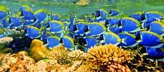 Finding Dory (roshan41182) Tags: roshan roshan41182 mal mahibadhu snorkel underwater dicapac sony fish dory bluetang coral blue swim explore