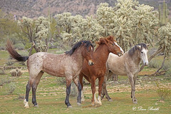 The 3 Stooges (littlebiddle) Tags: arizona saltriver nature horses equine wildlife animals mammal