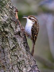 Treecreeper (acerman17) Tags: nature wildlife woods woodland tree bark bird animal treecreeper
