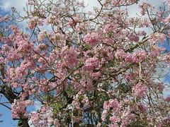 Tabebuia (possibly Tabebuia rosea?) (wallygrom) Tags: cuba jibacoa santaclara cheguevara parqueleonciovidal parquevidal tree trees floweringtree tabebuia pinkflowers blossom bignoniaceae tabebuiarosea