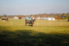 Horses in the fields (zawtowers) Tags: london loop section 6 six coulsdonsouthtobansteaddowns walking amble stroll walk exploring outer suburbs green spaces sunday 20th january 2019 dry sunny cold bright afternoon horses fields relaxed content