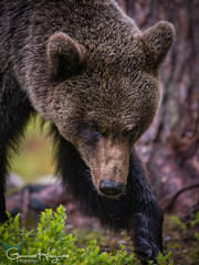 Always Alert (GunnarImages (Gunnar Haug)) Tags: mother lick itchy finland trunk nordic brown brownbear power wildlife tree forest cute green mammal blueberry nose branch