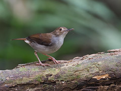 White-chested Babbler (ChongBT) Tags: nature natural wild life wildlife animal bird avian watching birdwatching malaysia olympus trichastomarostratum trichastoma rostratum white chested babbler