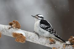 Ms Downy Woodpecker-45886.jpg (Mully410 * Images) Tags: female downywoodpecker birding birch backyard woodpecker bird birds birdwatching birder snowing