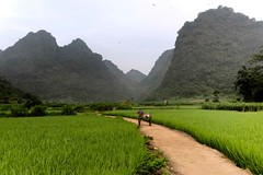 Ba Be Rice Fields (Rod Waddington) Tags: asia north vietnam vietnamese ba be rice fields karst mountains woman cart path morning trees forest forrest farming farm rural crop happyplanet asiafavorites
