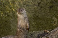 Diecko, loutre d'Europe (nicotr) Tags: 20190126 loutre zoo