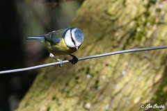 Blue Tit (Jen Buckle) Tags: strumpshawfen norfolk rspb jenbuckle wwwflickrcompeoplejenbuckle bird birds nature wildlife gardenbird gardenbirds