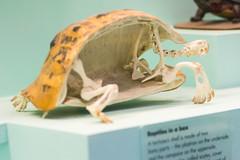 Bell's Hinge-back Tortoise - Natural History Museum London (nickstone333) Tags: naturalhistorymuseum london museum tortoise skeleton atxm100afprod tokinaaf100mmf28macro nikon nikond7100 d7100