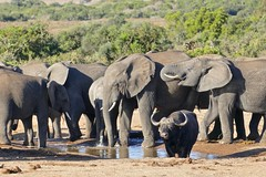 African Elephants(Loxodonta africana) surrounding an African Buffalo (Syncerus caffer) old bull at waterhole ... (berniedup) Tags: africanelephant loxodontaafricana waterhole addo elephant taxonomy:binomial=loxodontaafricana africanbuffalo synceruscaffer buffalo taxonomy:binomial=synceruscaffer