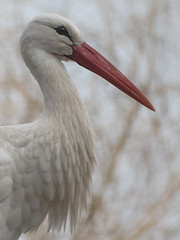 Stork portrait (Valérie C) Tags: bird stork nature animal white beak cigogne feather portrait