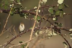 Reed Bunting female (Benjamin Joseph Andrew) Tags: bird passerine songbird farmland perching winter scrub one lone single individual