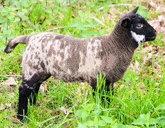 DSC_0088 (Geert Van Keymolen) Tags: 2017 belgien belgique belgium belgië d5200 erpemere europe nikon nikond5200 agneau animal buitenshuis color couleur dier draussen exterieur farbe kleur lam lamb lamm mouton natur nature natuur outdoor schaap schafe sheep tier vlaanderen be